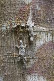 Two Frilly Forest Geckos  Hemidactylus Craspedotus  on a Tree