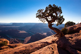 Moab  Dead Horse Point  Utah: A Lone Juniper Tree Overlooking the Colorado River  Dead Horse Point