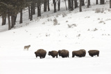 A Gray Wolf  Canis Lupus  Near a Herd of American Bison  Bison Bison