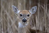 Close Up Portrait of a White-Tailed Deer  Odocoileus Virginianus