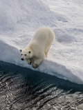 Portrait of a Polar Bear  Ursus Maritimus  on an Ice Floe at the Water's Edge