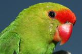 Close Up of a Black-Winged Lovebird  Agapornis Taranta
