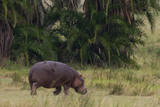 Tanzania  Africa: A Hippo on Dry Land with Birds Eating Bugs from His Hide