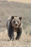 Front View of a Grizzly Bear in a Grass Field