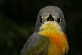 Portrait of a Sulphur-Breasted Bushshrike  Telophorus Sulfureopectus  Looking at the Camera