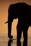 An African Elephant  Loxodonta Africana  Drinking in the Khwai River at Sunset