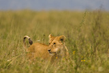 Tanzania  Africa: A Lioness Roams the Tall Grass in Serengeti National Park