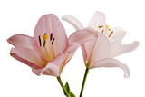 Pink Lily Flowers  Lilium Species