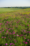 Bright Pink Wildflowers Bloom in Rural Grasslands