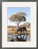 Elephant (Loxodonta Africana)  Chobe National Park  Botswana  Africa
