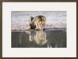 Lion (Panthera Leo) Drinking  Kgalagadi Transfrontier Park  South Africa  Africa