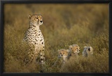 Cheetah Cubs and their Mother