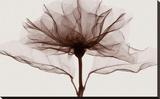 A Rose (oversize)