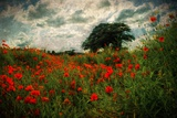 Poppies in a Wild Field