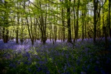 Bluebells in Woods Papier Photo par Rory Garforth