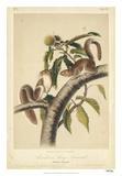 Audubon Squirrel I