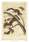 Audubon Squirrel III