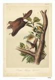 Audubon Squirrel IV