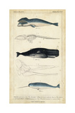 Antique Whale and Dolphin Study III