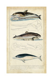 Antique Whale and Dolphin Study II