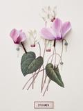 Floral Decoupage - Cyclamen