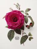 Floral Decoupage - Rosa