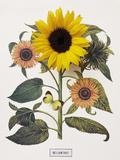 Floral Decoupage - Helianthus
