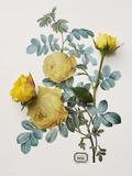 Floral Decoupage - Centifolia Rosa