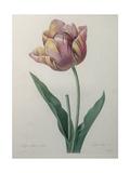 Tulip Cultivar