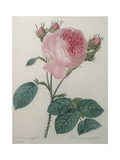 Provence or Cabbage Rose