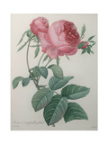 Rose with a Hundred Leaves and Foliage