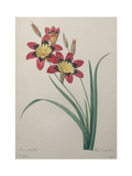 African Corn Lilly or Wand Flower