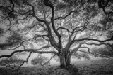 Majestic Old Oak  Black and White  Petaluma Northern California