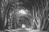 Afternoon Light Cypress Tree Road  Poiint Reyes National Seashore