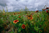 A Monarch Butterfly Lands on Wildflowers