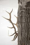 A Bull Elk  Cervus Elaphus  Rubbing His Antlers Against a Tree Trunk