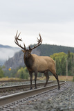 A Bull Elk  Cervus Canadensis  Stands on a Train Track
