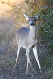 Portrait of a Young Female White-Tailed Deer  Odocoileus Virginianus
