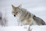 Portrait of a Coyote  Canis Latrans  in a Snowy Landscape