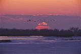 Sandhill Cranes Past a Setting Sun over the Platte River