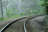 A Red Fox Stands on Train Tracks in the Forest
