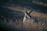 A Pronghorn Antelope Stands in a Field of Grass