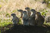 Prairie Dogs Family Near Entrance to Underground Burrow