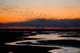 A Flock of Sandhill Cranes Migrate at Sunrise