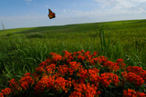 Monarch Butterflies Fly over the Prairie with Above Butterfly Milkweed in Bloom