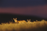 Two Black-Footed Ferrets Peek Up from the Grass on the Prairie