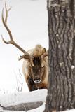 A Bull Elk  Cervus Elaphus  in a Snowy Landscape
