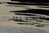 White-Tailed Deer Walk Through the Platte River