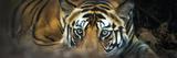 Bengal Tiger (Panthera Tigris Tigris), India Papier Photo par Panoramic Images
