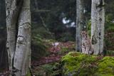 A European Lynx  Lynx Lynx  Sitting Atop a Mossy Boulder in a Scenic Forest